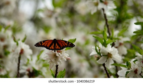 Monarch butterfly on flowers of almond tree