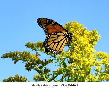 Monarch butterfly on the Goldenrod flower on shore of the Lake Ontario in Toronto, Canada, September 21, 2017