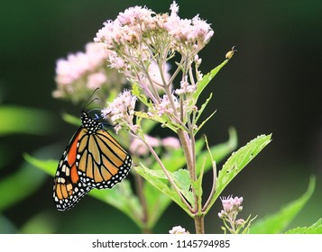 Monarch Butterfly on a Joe Pye Weed