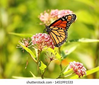 Monarch Butterfly on a Joe Pye Weed Wildflower