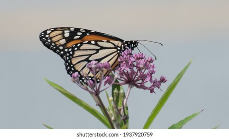 Monarch butterfly on joe pye weed