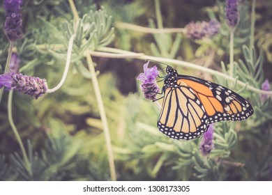 Monarch Butterfly on Lavender Flower Selective Focus with Copy Space, Horizontal