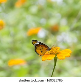 Monarch Butterfly on a Mexican Sunflower,shallow depth of field