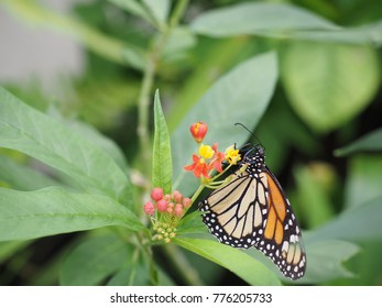 A monarch butterfly on the milkweed flowers