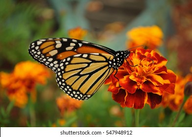 Monarch Butterfly on my Marigolds