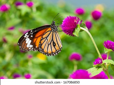 Monarch Butterfly on nature