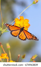 A Monarch Butterfly on an orange flower, Top Down View, Danaus plexippus