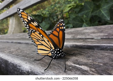 monarch butterfly on park bench