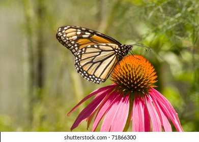Monarch butterfly on pink cone flower with room for copy