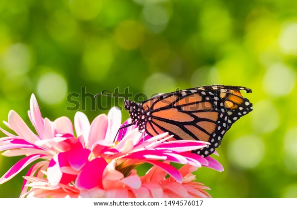 Monarch butterfly on pink flower macro