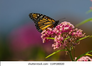Monarch butterfly on pink milled flower in summer