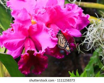 Monarch Butterfly on Pink Orchids