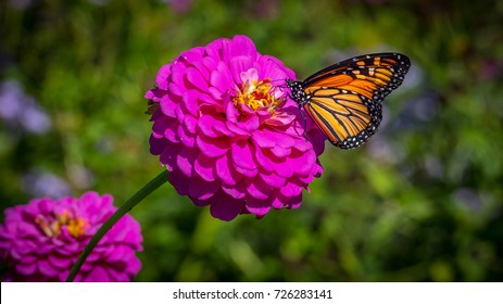 A monarch butterfly on a pink zinnia on a sunny autumn afternoon