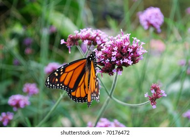 Monarch butterfly on the purple flower, Ontario, Canada
