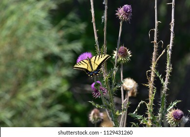 Monarch butterfly on a purple thistle