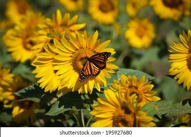 Monarch butterfly on summer sunflower