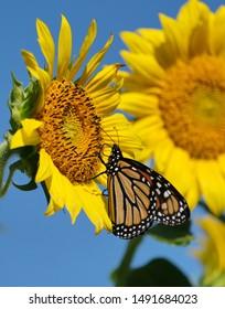 A monarch butterfly on a sunflower.