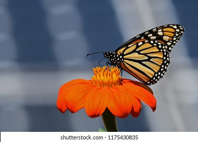 Monarch butterfly on Tithonia diversifolia or Mexican sunflower with solar panels in background. It is a milkweed butterfly in the family Nymphalidae and is threatened by habitat loss in the USA.