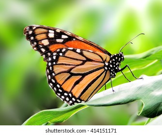 Monarch butterfly on a tropical plant