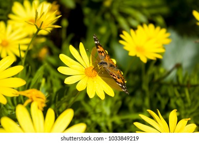 Monarch Butterfly on a Yellow Daisy