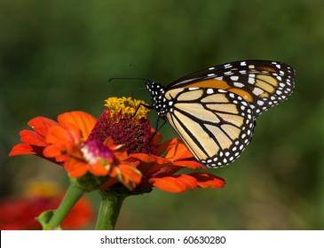 Monarch Butterfly on Zinnia