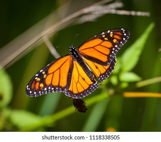 Monarch Butterfly, Orange and black insect sitting on bush with beautiful outstretched wings