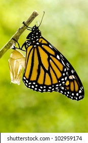 Monarch Butterfly out of cocoon on Milkweed Mania: caterpillar, larva, pupa, chrysalis life cycle of butterfly born in the nature.Beauty in nature. No people. Copy spac