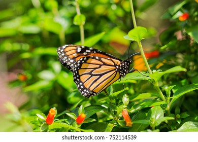 Monarch butterfly perched on plant