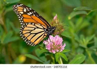 Monarch Butterfly perched on a Red Clover flower. Tommy Thompson Park, Toronto, Ontario, Canada.