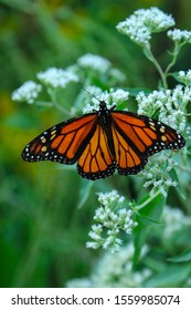 Monarch butterfly perched on various flowers.