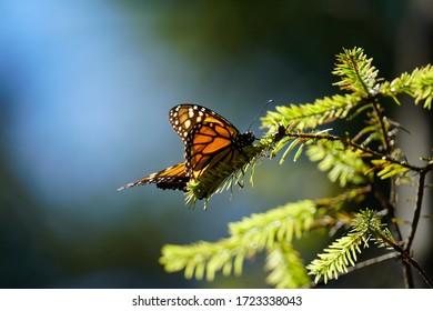 Monarch butterfly at Piedra Herrada sanctuary, Mexico