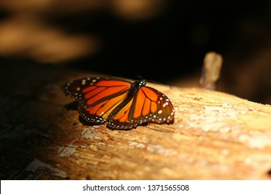 Monarch butterfly in the pine forest in Mexico