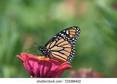 Monarch butterfly in pink zinnia flower