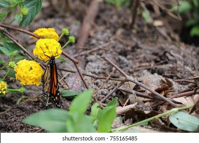 Monarch butterfly pollinating a lantana flower plant on a sunny day in the garden.