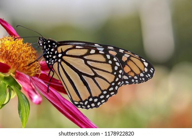 Monarch Butterfly Portrait, isolated, closeup, blurred background