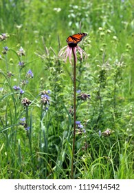 Monarch butterfly (profile view, wings folded) feeding on echinacea wildflower (purple coneflower). Vertical. Taken on a prairie in Wisconsin, USA (spiderwort flowers visible in the background).