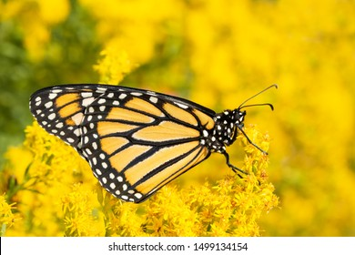 Monarch butterfly resting on a bright yellow Goldenrod flower