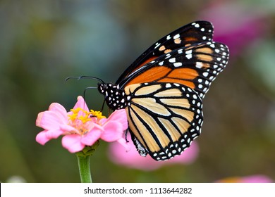 Monarch butterfly resting on cosmos flower.