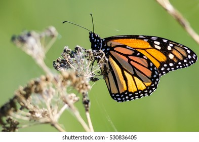 Monarch Butterfly Resting on a Dried Desert Flower