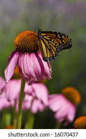 A monarch butterfly rests momentarily on a purple coneflower.