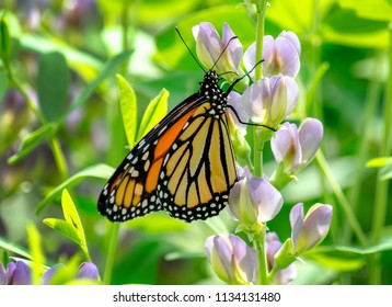 monarch butterfly rests on a colorful flower in a pretty garden, helping to pollinate the flora