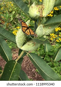 A monarch butterfly rests on the pod of an Asclepias syriaca, called common milkweed.  The insect is known for laying its eggs on the plant because the plant toxins harm other wildlife not the monarch