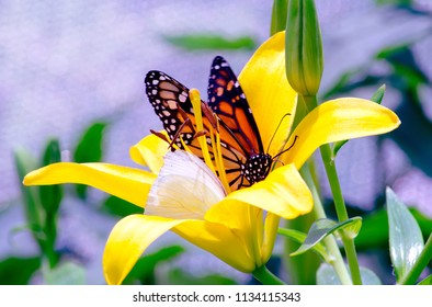 A monarch butterfly shares a flower with a small white butterfly in this colorful garden