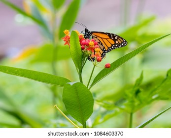 The monarch butterfly or simply monarch (Danaus plexippus) is a milkweed butterfly (subfamily Danainae) in the family Nymphalidae.