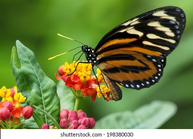 Monarch Butterfly - Sipping nectar from a flowering shrub with a blurred green foliage background