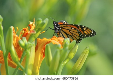 A monarch butterfly sits on a tiger lily