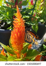 A monarch butterfly sits on a vivid orange kniphofia ichopensis flower, gently fluttering its wings. The flower and the brightly colored butterfly are set against a background of green leaves.