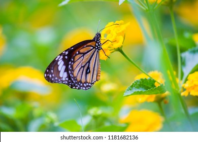 The Monarch Butterfly sitting on the flower plant  and feeding itself in its natural habitat in a nice soft beautiful backgroud flowers