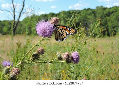 Monarch Butterfly in tallgrass prairie landscape