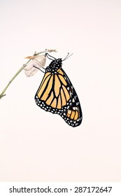 Monarch butterfly that had just hatched and is hanging on his chrysalis while his wings dried. A nice white background for text.